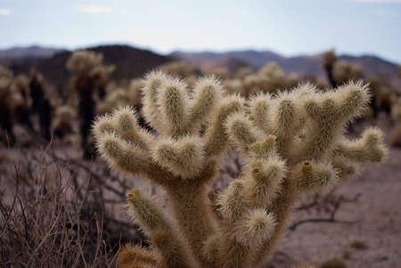 cholla: Cholla Cactus Stock Photo