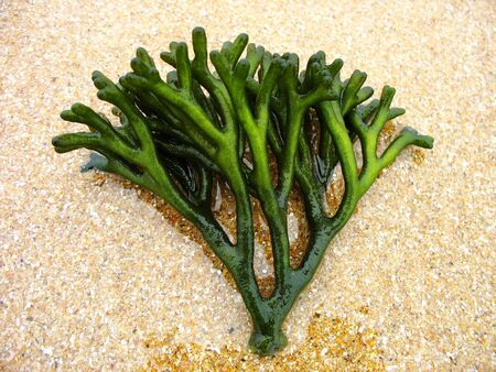 The green seaweed on the golden beach photo