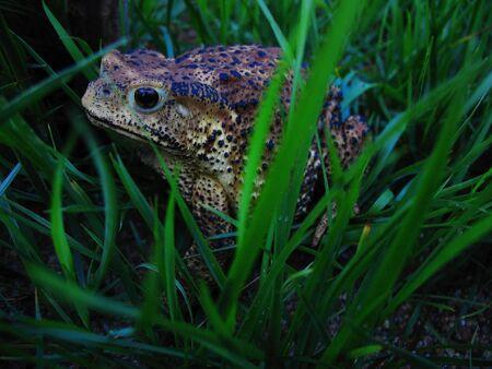 principe rana: Insectos depredadores en el campo de Sapo grande