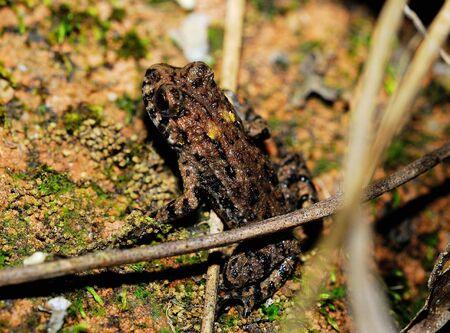 principe rana: Insectos depredadores en el ámbito de la gran sapo Foto de archivo