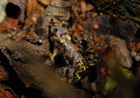 principe rana: Insectos depredadores en el campo de gran Sapo