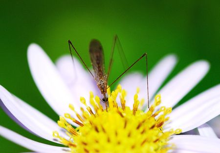 Nature of the pest mosquito Stock Photo - 5502616