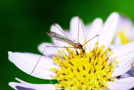 Nature of the pest mosquito Stock Photo - 5502626