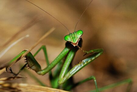 cannibal: Some of the beautiful fields mantis