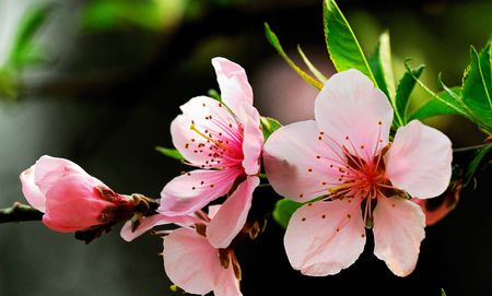 Nature Is Very Beautiful Peach Blossoms Stock Photo