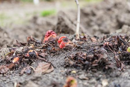 Anfangsstadium von Rhabarber im Frühling