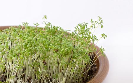 Sewn fresh cress in a pot Stock Photo