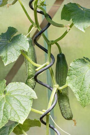 glasshouse: Cucumber in glasshouse