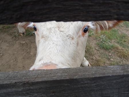 peeking: Peeking cow Stock Photo