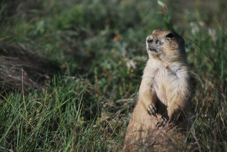 the sentinel: Prairie dog sentinel Stock Photo