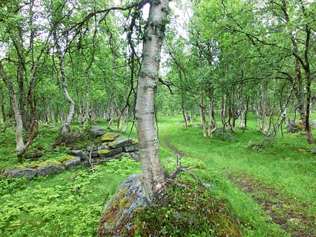 mysticism: Bizarrely forest of birchs