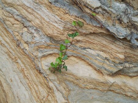 rambling: Lonely ivy on a rock