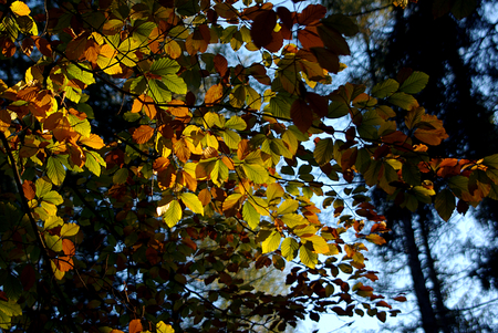 mysticism: Shining branch of beech in the fall in a forest