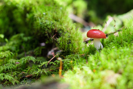 gilled: Red mushroom, Mushrooms on moss in the forest