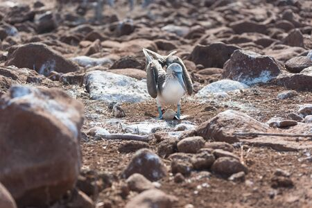Blue footed booby with egg, North Seymour, Galapagos Islands, Ecuador, South America. 스톡 콘텐츠