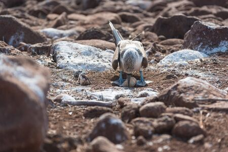 Blue footed booby with egg, North Seymour, Galapagos Islands, Ecuador. 스톡 콘텐츠