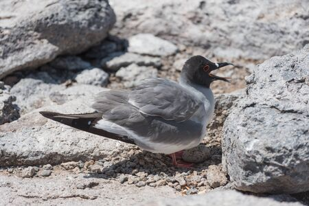 Swallow tailed gull with its egg on South Plaza, Galapagos Island, Ecuador, South America. 스톡 콘텐츠
