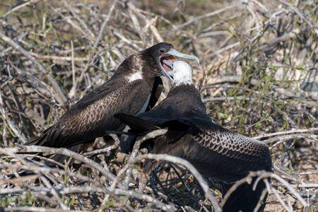 A female great Frigatebird feeds her chick on North Seymour Island, Galapagos Island, Ecuador.