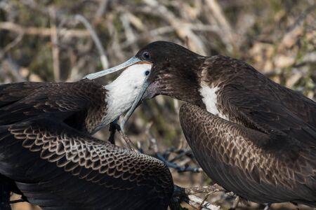 A female great Frigatebird feeds her chick on North Seymour Island, Galapagos Island, Ecuador, South America.