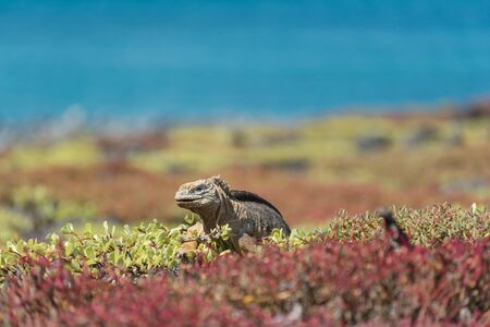 A Galapagos Land Iguana (Conolophus Subcristatus) on South Plaza, Galapagos Islands, Ecuador, South America.