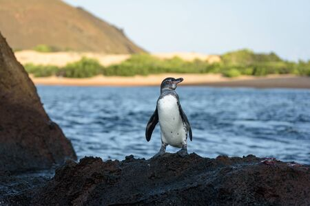 A Galapagos penguin on a rock in Santiago Island, Galapagos Island, Ecuador, South America.