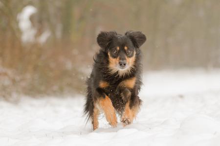shepperd: Running Dog