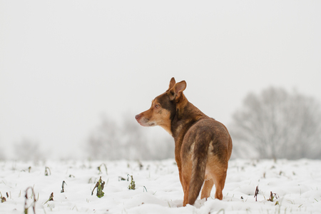 shepperd: Dog Portrait
