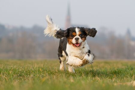cavalier: A Cavalier King Charles dog runs happily on a meadow