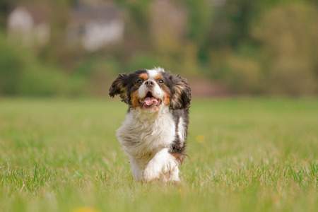 dog breeds: A Cavalier King Charles dog runs happily on a meadow