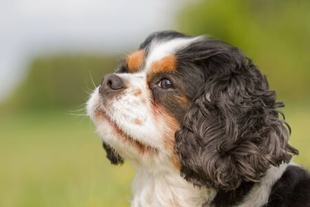 cavalier: A portrait of a Cavalier King Charles dog