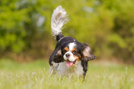 rey: Un perro de aguas de rey Charles corre feliz en un prado