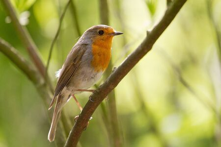 A portrait of a robin sitting on a tree branch photo