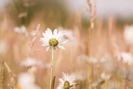 marguerites: Abstract floral background with Marguerites