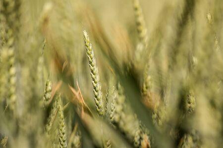 heathy: Abstract background cornfield, wheat Stock Photo