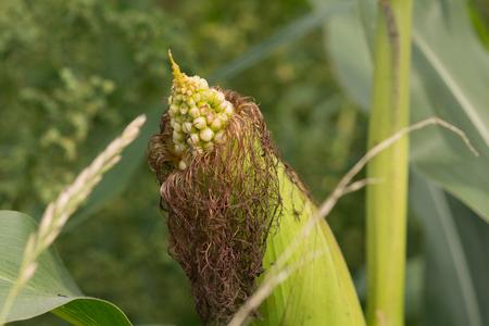 cornfield: Corncobs cornfield