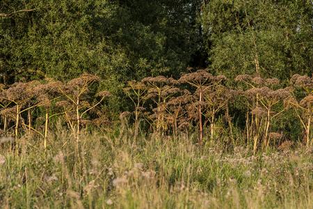 hercules: Giant hogweed, Hogweed, Hercules herb