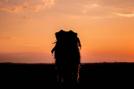 nature silhouette: Dog stands in the sunset on a field