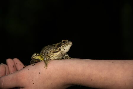 amphibia: Frog is sitting on at arm Stock Photo