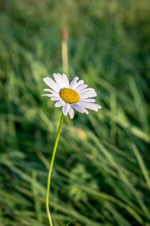 marguerites: Marguerite flower with bokeh