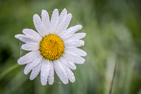 marguerites: Wet Marguerite flowers with bokeh