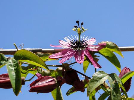 passiflora: ssion flower  Pink Passiflora