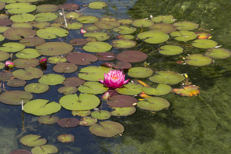 koi pond: pink water lily  lotus floats on top of a koi pond in Southern California Stock Photo