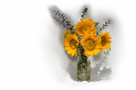 helianthus: Sunflower Helianthus annuus in a vase with eucalyptus leaves in spring time