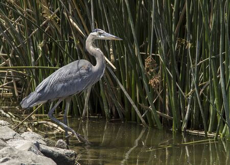 Great blue heron in the wild foraging in a lake in Southern California