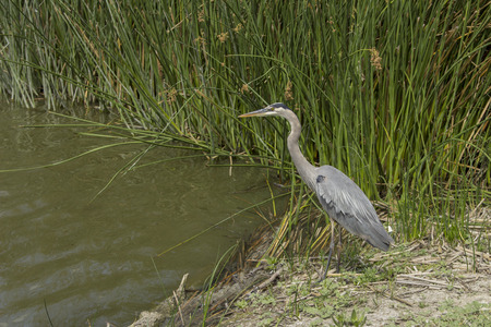 blue heron: Great blue heron in the wild foraging in a lake in Southern California