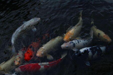 gosanke: Koi fish Cyprinus carpio haematopterus eating in a koi pond in Long Beach