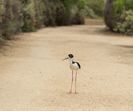 himantopus: Blacknecked stilt Himantopus mexicanus shore bird