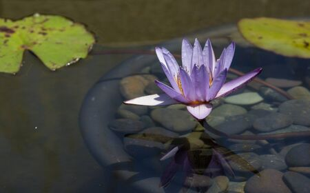 stellate: Blue star water lily Nymphaea nochali floats in a pond with its lily pads in Southern California