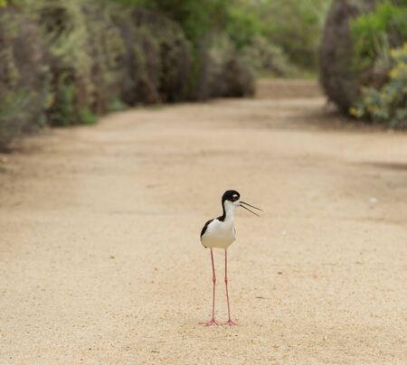 Blacknecked stilt Himantopus mexicanus shore bird