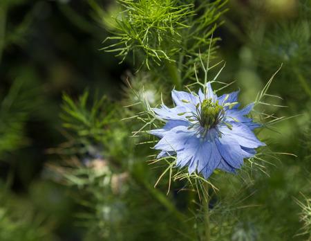 black seed: Black seed Nigella sativa purple blue flower